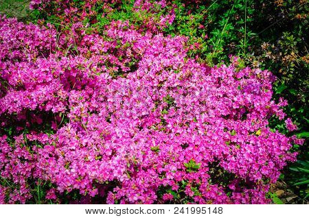 Field Of Bright Pink Rhododendrons Blooming, Rhododendron Flowers .