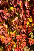 Leaves of wild grapes in the autumn in a sunny day poster