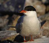 Common tern ( Sterna hirundo ) portrait. Closeup. poster