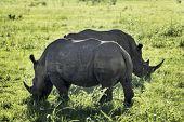 White Rhino (Ceratotherium simum)Hluhluwe National Park, Kwa-Zulu Natal, South Africa poster