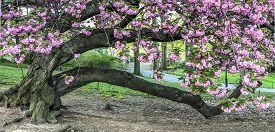 Prunus Serrulata Or Japanese Cherry; Also Called Hill Cherry, Oriental Cherry In Central Park, New Y