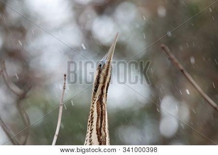 Portrait Of Eurasian Bittern Botaurus Stellaris Sitting On Branch Of Tree In Forest During Spring Mi