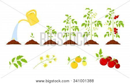 Tomatoes Growth Vector Infographics.  Elements: Leaves, Bloom, Unripe Tomatoes And Ripe Fruits On A