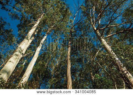 Trunks And Branches Of Various Eucalyptus Trees In A Grove Near Gramado. A Cute European-influenced