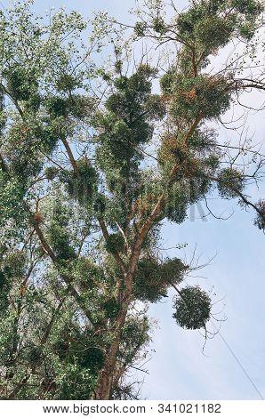 Poplar Tree (populus) With Extensive Mistletoe (viscum Album) Overgrowth. Week Dying Tree With Very