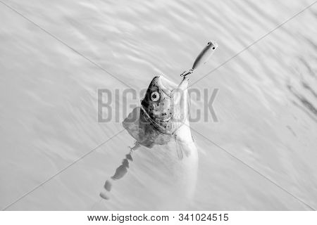 Fish Open Mouth Hang On Hook. Fish Hook Or Fishhook Is Device For Catching Either By Impaling In Mou