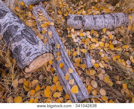 Close Up Of Vibrant Scattered Aspen Leaves Near Fallen Timber And Logs During Fall Season In High Co