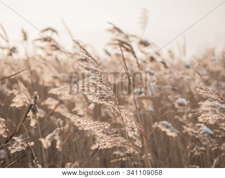 Dry Grass Sways In The Wind In The Sun In Winter. Beige Reed. Beautiful Nature Trend Background. Clo