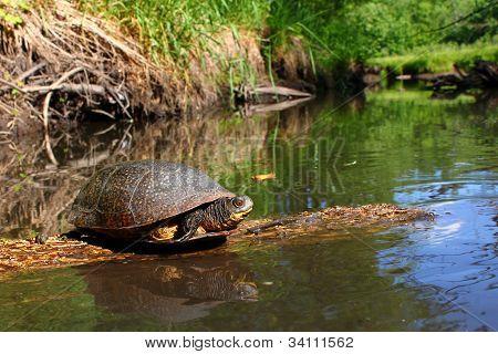 Blandings Turtle Basking On Log