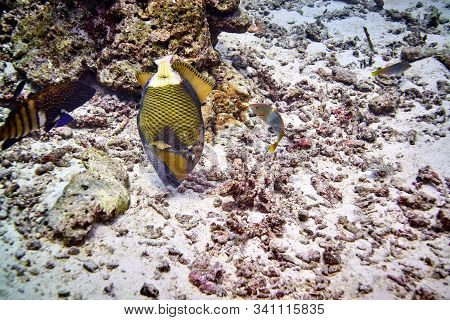 Titan Triggerfish In The Deep Blue With Corals Reef