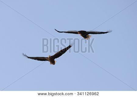 Two Eagles Flying In Blue Sky. White-tailed Eagle (haliaeetus Albicilla) And Steller Sea Eagle (hali