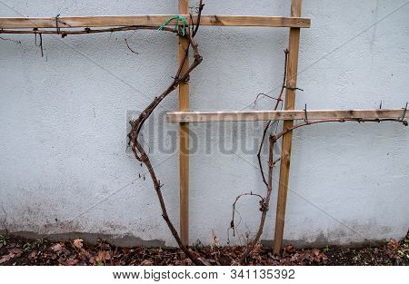 A Dormant Grapevine Without Leaves In The Autumn/winter Season.