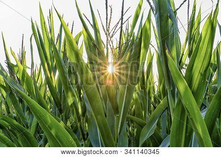 Blick Durch Ein Maisfeld Auf Die Sonne.