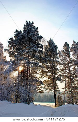 The Amazing Splendor Of The Winter Forest Where The Sun Disc Is Guessed Behind Tall Trees, Growing T