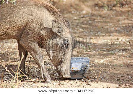Warthog feeding on human litter