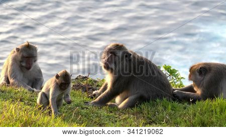 Macaque Monkeys Relaxing Near A Cliff Edge At Uluwatu Temple On Bali