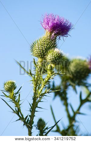 Flower Of Wild Carduus Crispus. Blooming Wild Carduus Crispus, The Curly Plumeless Thistle Or Welted