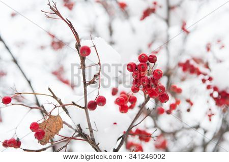 Christmas Rowan Berry Branch. Hawthorn Berries Bunch. Rowanberry Twig In Snow. Winter Berry. Berries