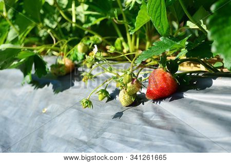 Fresh Strawberry In Organic Strawberry Farm, Agriculture And Food Concept