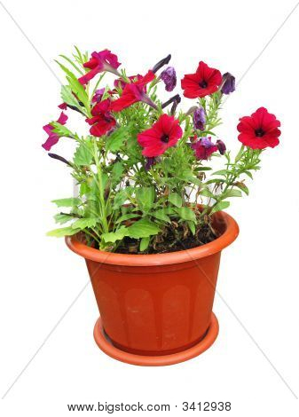 Nice Flowers Growing In A Red Pot Isolated Over White Background