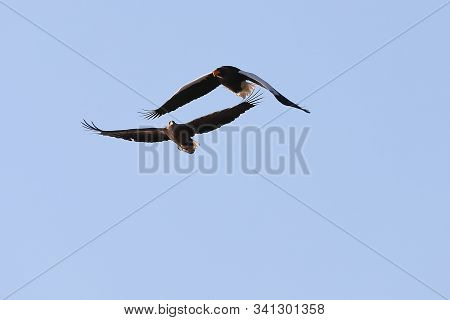 Two Eagles Flying In Blue Sky Close To Each Other. White-tailed Eagle (haliaeetus Albicilla) And Ste