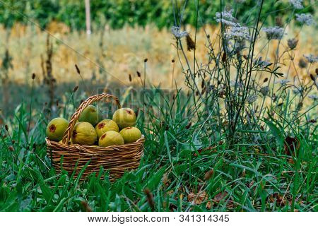 Colorful Image Of Wicker Basket Full Of Figs On Uncultivated Grassy Field