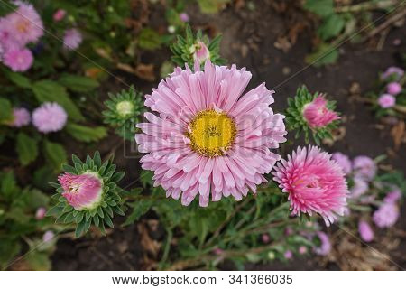 Top View Of Flower Head Of Pink China Aster