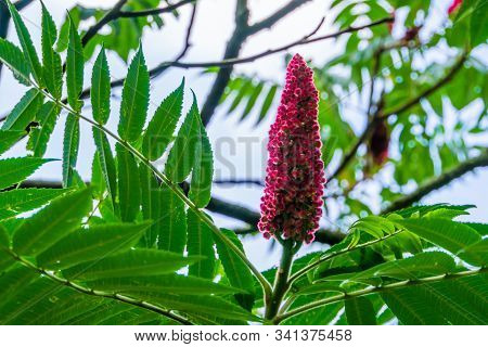 Closeup Of A Staghorn Sumac With Blooming Flowers, Tropical Cashew Plant Specie From America