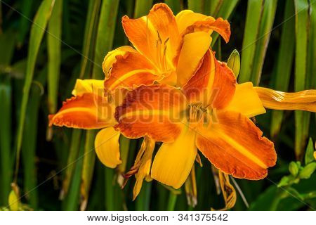 Macro Closeup Of A Hemerocallis Frans Hals, Dutch Cultivar Specie Of The Daylily, Popular And Colorf