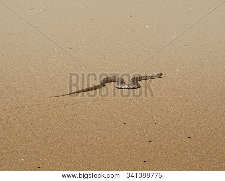 A Fleeing Snake In The Sands Of Kazakhstan.