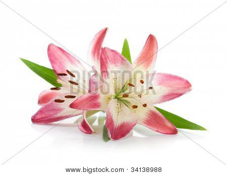Two pink lily. Isolated on white background