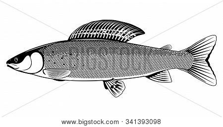 Realistic Grayling Fish In Black And White Isolated Illustration, One Freshwater Fish On Side View,