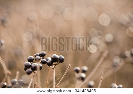 Boke, Sunny Morning Dew On The Berries Of An Ornamental Plant