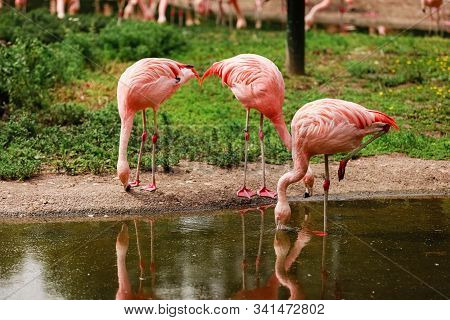 Pink Flamingos In Nature. A Group Of Pink Flamingos Hunting In The Pond, Hong Kong, China, Kowloon P