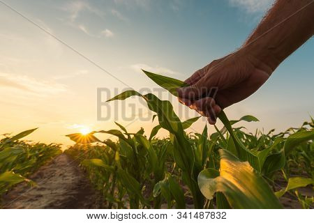 Farmer Is Examining Corn Crop Plants In Sunset. Close Up Of Hand Touching Maize Leaf In Field.