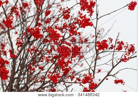 Bunches Of Red Sorbus Aucuparia In Winter On A Cloudy Day.
