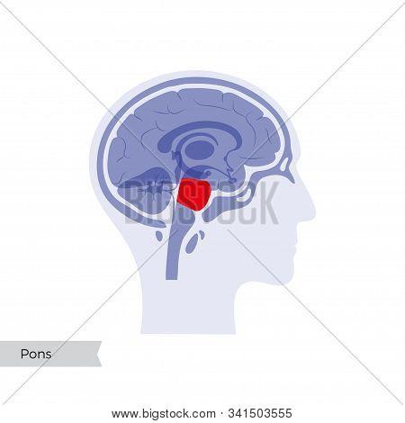 Vector Isolated Illustration Of Pons Hindbrain, Part Of Brain Stem In Man Head. Human Brain Anatomy.