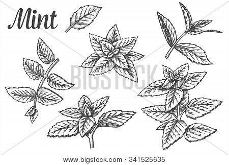 Sketches Of Peppermint Leaves Or Mint Leaf, Spearmint Foliage Or Fresh Melissa, Lemon Twig. Set Of I