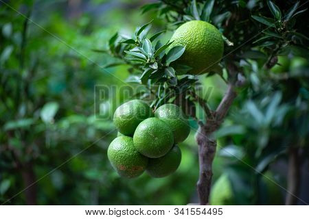 Not Ripe Mandarins On A Tree In The Mandarin Orchard. Selective Focus. Mandarin Oranges