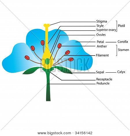 structure of the flower, for teaching pupils and students