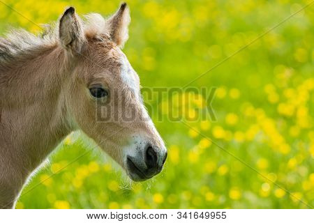 An Portrait Of An Amber Coloured Foal (baby Horse) Backed By A Field Of Green And Yellow