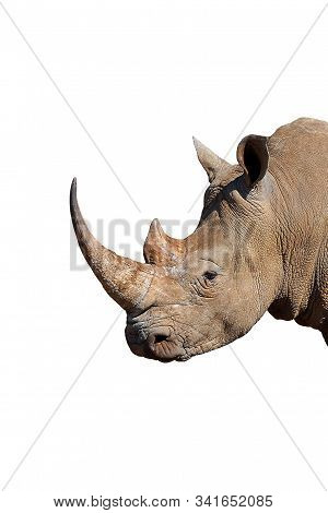 The southern White Rhinoceros or square-lipped Rhinoceros, Ceratotherium Simum Isolated On White