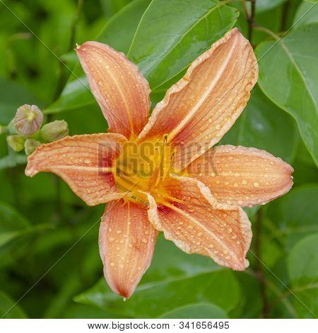 Daylily Brown-yellow Close-up In Raindrops. Hemerocallis Fulva