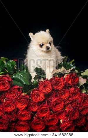 Valentines Day Puppy On A Red Rose. In Love On Valentines Day. Portrait Of Puppy Terrier Dog Lying O