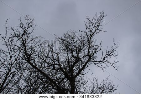 A Tree Branches On The Grey Sky. A Winter Day. A Mainly Cloudy Day.  Ukraine. Looking Up To Grey Sky