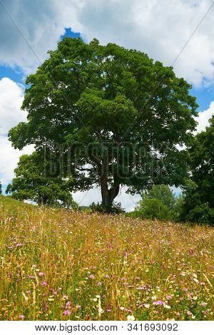 beautiful big trees and summer landscape, high spruces on hills, blue cloudy sky and wildflowers - travel destination scenic, carpathian mountains