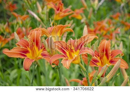 Flowers Of A Daylily Of Brown-yellow On A Bed In The Summer. Hemerocallis Fulva
