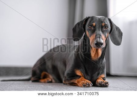 Cute Black And Tan Dachshund Lies In Front Of The Window, White Background, Pretty Dog Look.