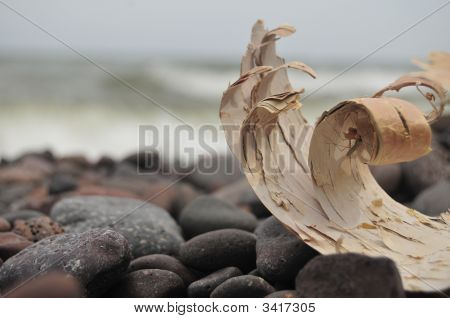 Birch Bark Curl