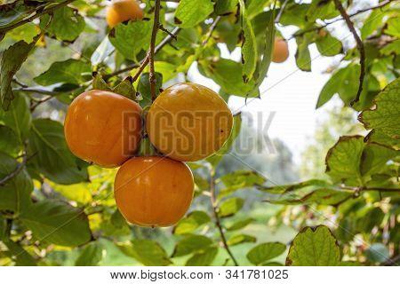 Persimmon Of Trabzon (paradise ) Diospyros Kaki, Fruit Tree